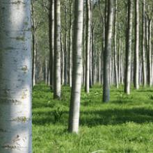 Espaciamiento entre chopos (marcos de plantación)