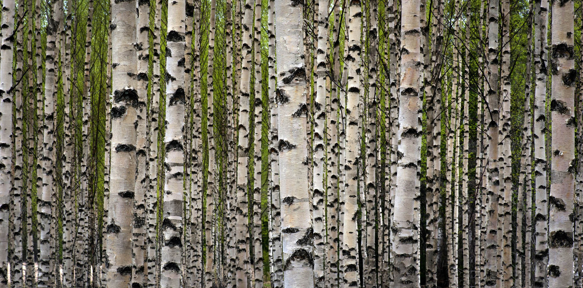 garnica_plywood_birch_1