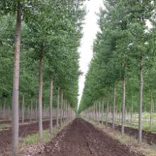 Dónde plantar chopos (disponibilidad de terrenos)