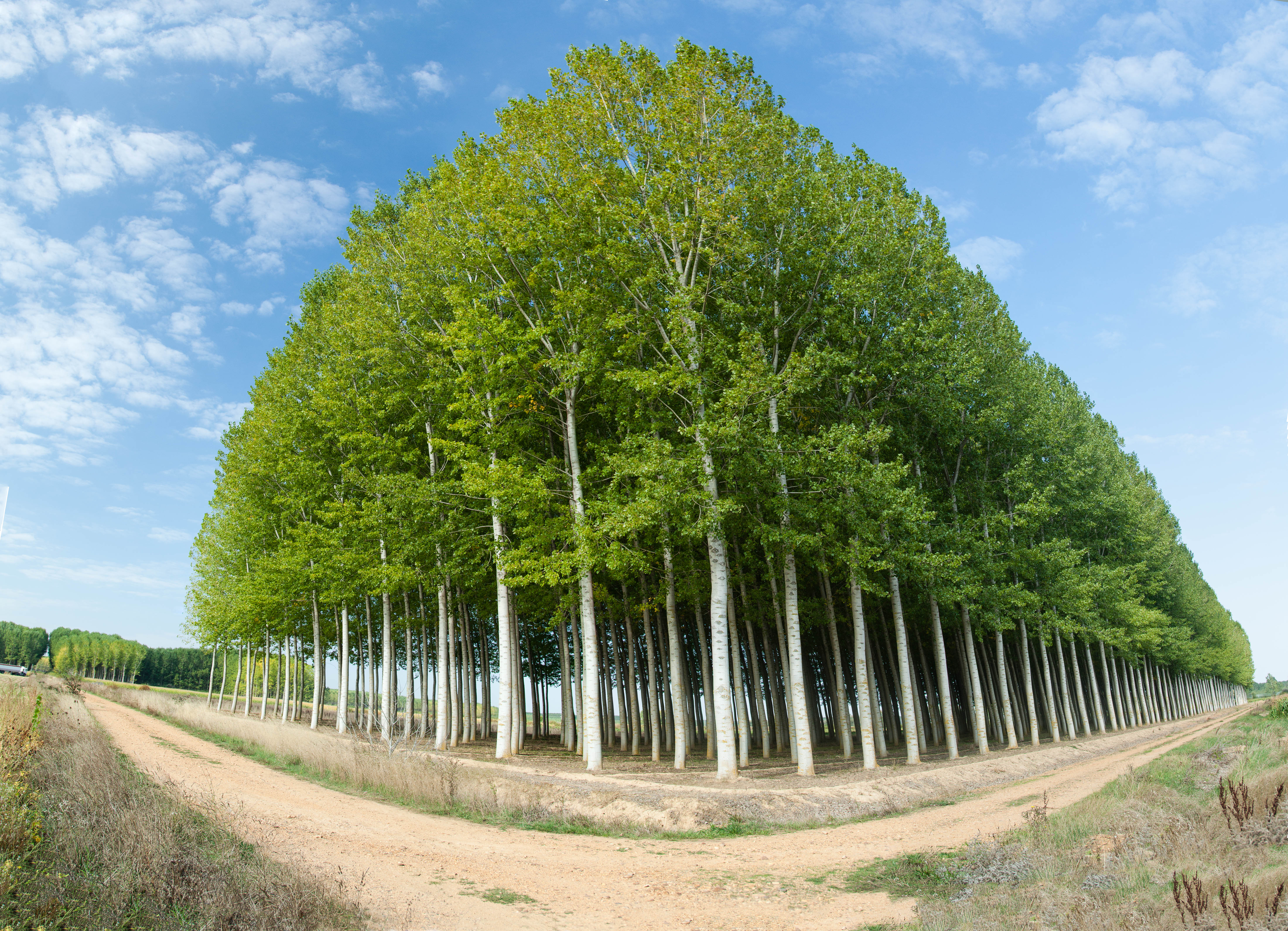 El chopo, el árbol del siglo XXI