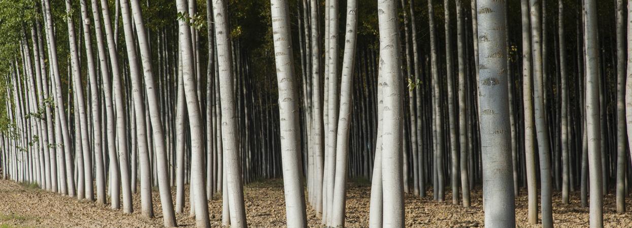La adjudicación de madera de chopo por subasta